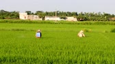 pesticide : Farmers spraying pesticides in rice fields on 2, 2013 in Asia. Rice is the main income in rural, about 800 USD