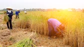 november : farmer harvest on a rice field on November 6, 2013 in Asian.