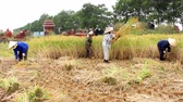 november : woman farmer harvest on a rice field on November 6, 2013 in Asia