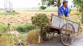 november : man carry rice farmer to cart on November 6, 2013 in Asia Stock Footage