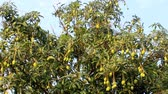 Mango with many fruits