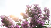 lagerstroemia : Lagerstroemia Stock Footage