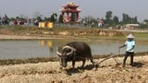 pesticide : Asian water buffalo to plow peasantry use Stock Footage