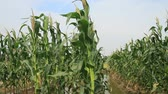 The wind blowing in the cornfield Stock Footage