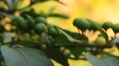 coffee tree : Ripened fruit on the tree