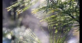 ladin : Light shining through Pine needles with snow.