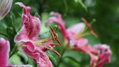 Lovely pink Tiger Lilies in the rain with rain drops