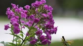Pink Phlox flowers Stock Footage