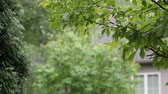 00:01 | 00:17 1×  Thuja tree with rain drops background with copy space. Stock Footage