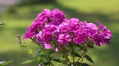 A bunch of pink Phlox flowers Stock Footage