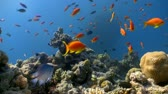 animal : colorful fish on coral reef, Red sea