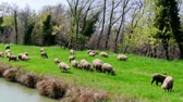 não urbano : Flock sheeps grazing on the banks of the river, in motion