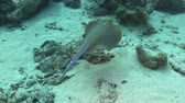 taeniura : Blue Spotted stingray under the coral reef, Red sea