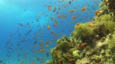 mergulhador : Tropical Fish on Vibrant Coral Reef, underwater scene