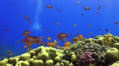 mergulhador : Tropical Fish on Vibrant Coral Reef, static scene