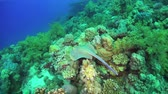 taeniura : Blue Spotted Stingray on Coral Reef, underwater scene