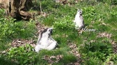 catta : Footage of two Lemurs sitting in the sun
