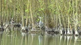 santuário : Grey Heron hunting in a lake at a bird sanctuary