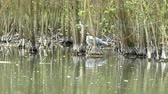 santuário : Footage of a Grey Heron hunting in a lake at a bird sanctuary