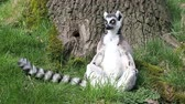 catta : Ring Tailed Lemur relaxing sitting in the sun
