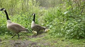 avian : Family of Canada Geese walking through some small bushes.