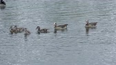 avian : Family of Egyptian Geese swimming on a lake in a wildlife sanctuary Stock Footage