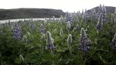 lupine : Icelandic flowers near to river.