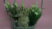 hare : Cute rabbit sitting in a basket Stock Footage