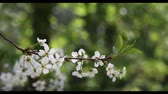 cherry blossom branch : Cherry bloom in spring
