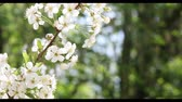 ботаника : Cherry bloom in spring