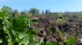 vegetal : bush of parsley and in the background a person cultivates the earth