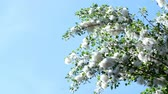 provocação : Against the blue sky, large, green poplar branches, all densely covered with bundles of fluff, like cotton tubers