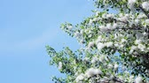 provocação : Against the blue sky, in the rays of the sun, large, green poplar branches, all densely covered with bundles of fluff, like tubers of cotton,