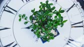 goździk : view from above, close-up. A green bonsai tree rotates on the dial of a large clock. An idea for a theme about time and nature Wideo