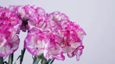 goździk : close-up, Flowers, bouquet, rotation on white background, floral composition consists of Bright purple turkish Carnation