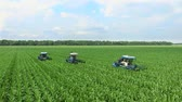 gwóżdź : Young shoots of corn on the field in rows, a farm for growing corn, agriculture tractors parse, remove lateral young shoots of corn, increasing the yield of the cornfield.aerial video