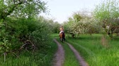 galope : spring, outdoors, girl rider, jockey riding on thoroughbred beautiful brown stallion, through old blossoming apple orchard. horse running in blooming garden. stedicam shot Stock Footage