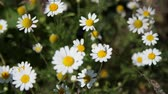 junção : close-up, daisies are swaying in the wind, summer, day. Stock Footage