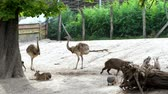 struś : BUDAPEST, HUNGARY - JULY 5, 2018: in the zoo, animals walk together, such as ostriches, large sea swine Capibara, rabbits, small Kunguras