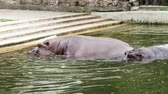 suaygırı : on a hot summer day, hippos bathe in the water, in the pool, in the zoo. Hippopotamus