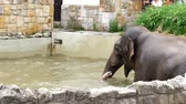 young elephants : an elephant is bathing in a special pool at the zoo Stock Footage
