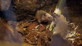 rats : Wild forest, small mice, rodents, gnaw a branch, a tree on nature. close-up Stock Footage
