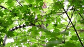 ohrožený : the lemur is sitting on a branch in a green forest on a hot summer day. Dostupné videozáznamy