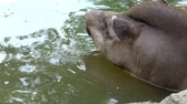 calções de banho : close-up, the tapir bathes in water, in a pond. on a hot summer day,