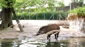 травоядный : in the zoo, on a hot summer day, the tapir walks on the water, near a pond, drinks water,