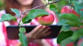 agronomist : close-up, an apple is hanging on a branch, woman farmer or agronomist examines the harvest of apples, makes notes in the tablet. on farm, in garden. on sunny summer day. Agriculture and gardening concept. Healthy nutrition.