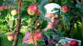 engradado : close-up, portrait of handsome male farmer or agronomist, picking apples on farm in orchard, on sunny autumn day. holding a wooden box with red apples, smiling. Agriculture and gardening concept. Healthy nutrition.