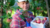 engradado : close-up, portrait of male farmer or agronomist, picking apples on farm in orchard, on sunny autumn day. holding a wooden box with red apples, smiling. Agriculture and gardening concept. Healthy nutrition.