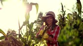 sabugo : smiling female farmer in plaid shirt, gloves and hat inspecting corn cob, cleans corn from leaves, checks quality of corn at her field on sunny summer day. background of growing corn.