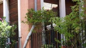 benátky : VENICE, ITALY - JULY 7, 2018: on the balcony, among the greenery, two white doves sit and clean their feathers